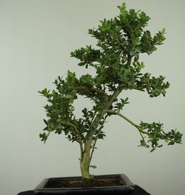 Bonsai Japanese Holly, Ilex crenata, no. 7566