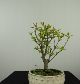 Bonsai Pomegranate, Punica granatum, no. 7592