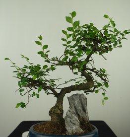 Bonsai Chinese Elm with rock, Ulmus, no. 7612