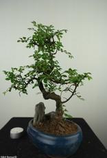 Bonsai Chinese Elm with rock, Ulmus, no. 7613