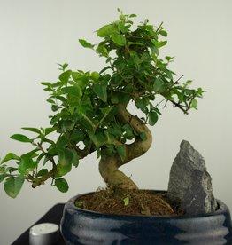 Bonsai Privet, Ligustrum nitida, no. 7630