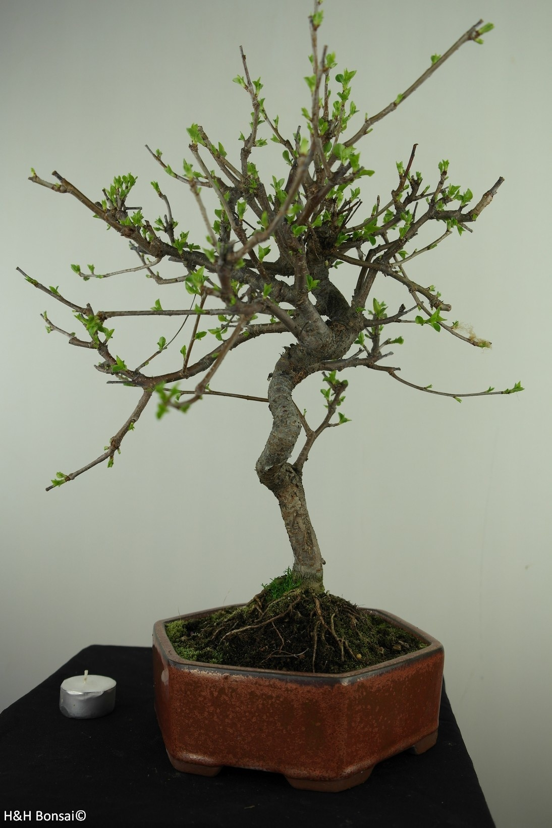 Bonsai Prunus mahaleb, Mahaleb cherry, no. 7668