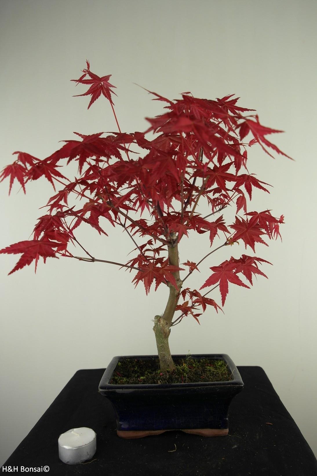 Bonsai Japanese Red Maple, Acer palmatum deshojo, no. 7718