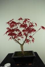 Bonsai Japanese Red Maple, Acer palmatum deshojo, no. 7719