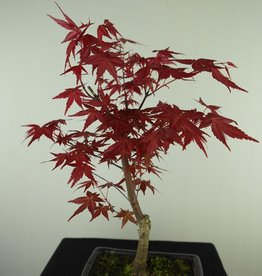 Bonsai Japanese Red Maple, Acer palmatum deshojo, no. 7720