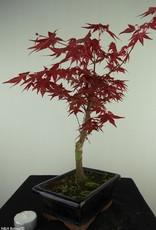 Bonsai Japanese Red Maple, Acer palmatum deshojo, no. 7720