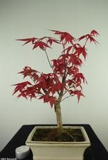 Bonsai Japanese Red Maple, Acer palmatum deshojo, no. 7723