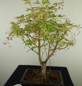Bonsai Japanese maple Batafurai, Butterfly, no. 7724