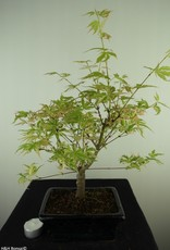 Bonsai Japanese maple Batafurai, Butterfly, no. 7725