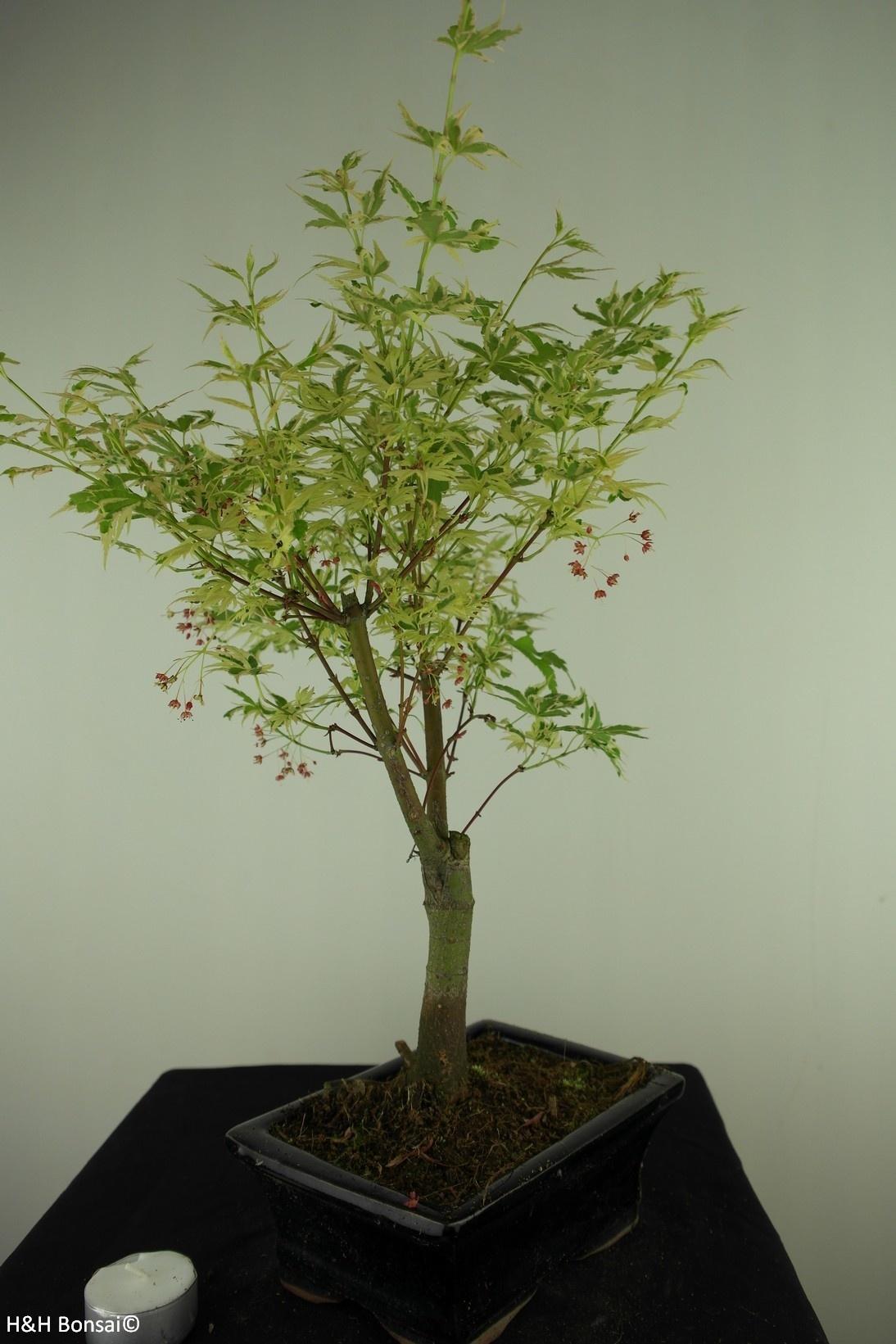 Bonsai Japanese maple Batafurai, Butterfly, no. 7727