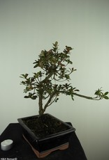 Bonsai Azalea Rhododendron indicum, no. 7728