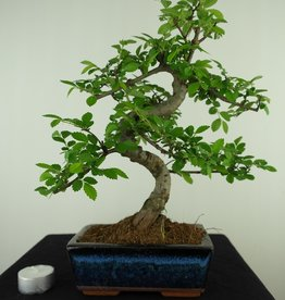 Bonsai Chinese Elm, Ulmus, no. 7734