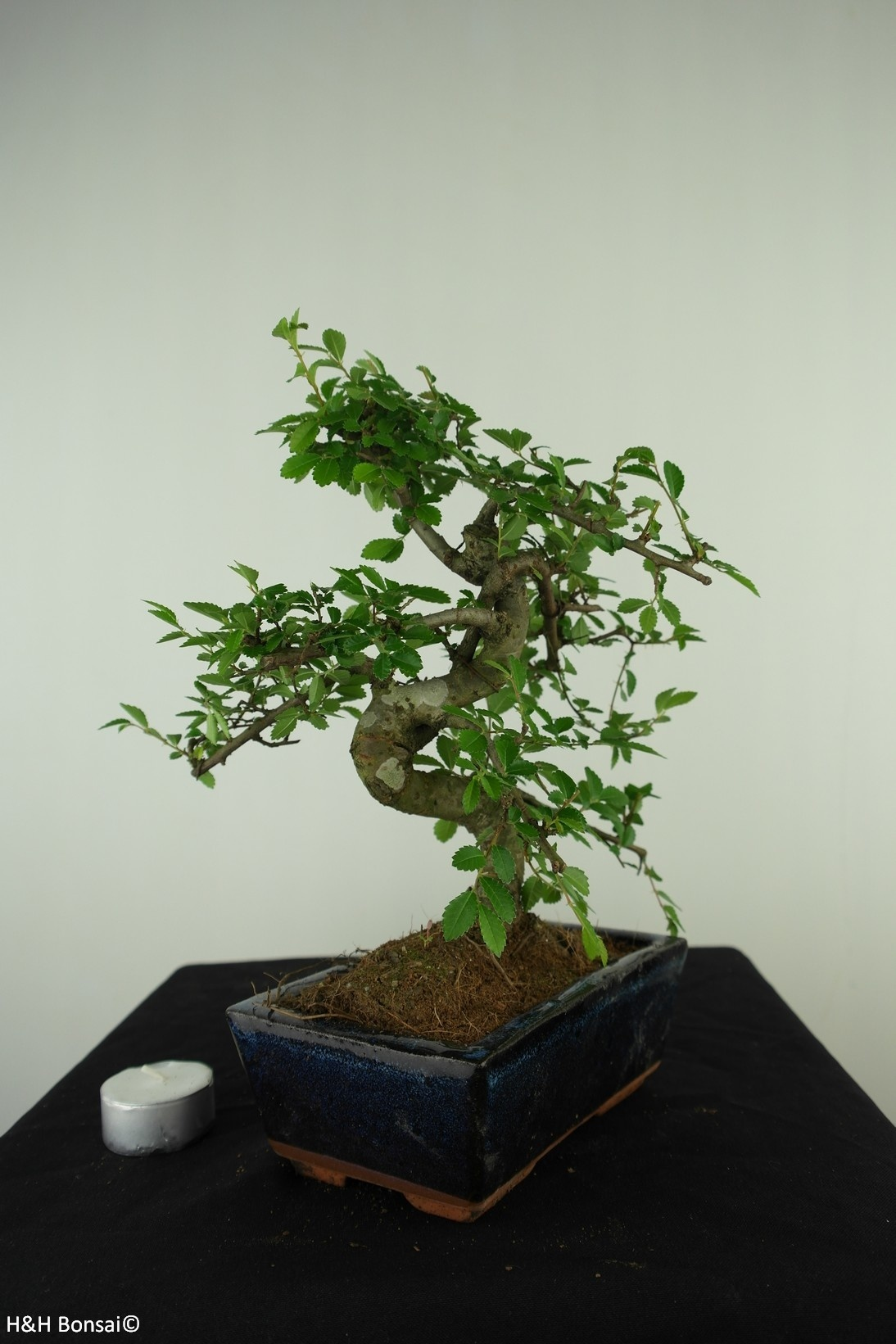 Bonsai Chinese Elm, Ulmus, no. 7735