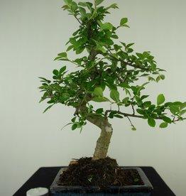 Bonsai Chinese Elm, Ulmus, no. 7739