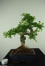 Bonsai Chinese Elm, Ulmus, no. 7741