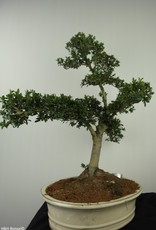 Bonsai Japanese Holly, Ilex crenata, no. 7743
