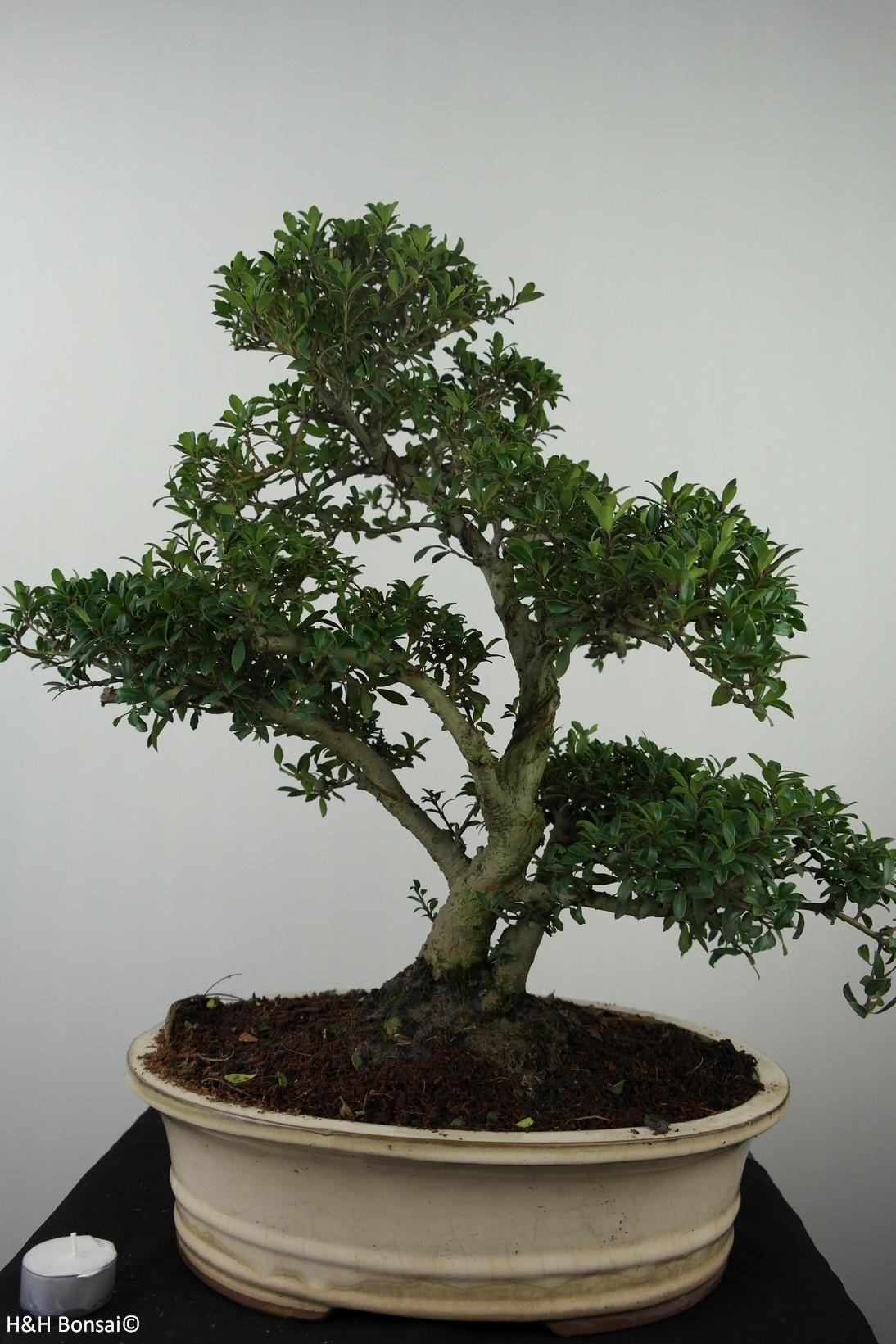 Bonsai Japanese Holly, Ilex crenata, no. 7744
