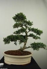 Bonsai Japanese Holly, Ilex crenata, no. 7745