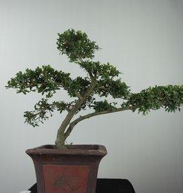 Bonsai Japanese Holly, Ilex crenata, no. 7748