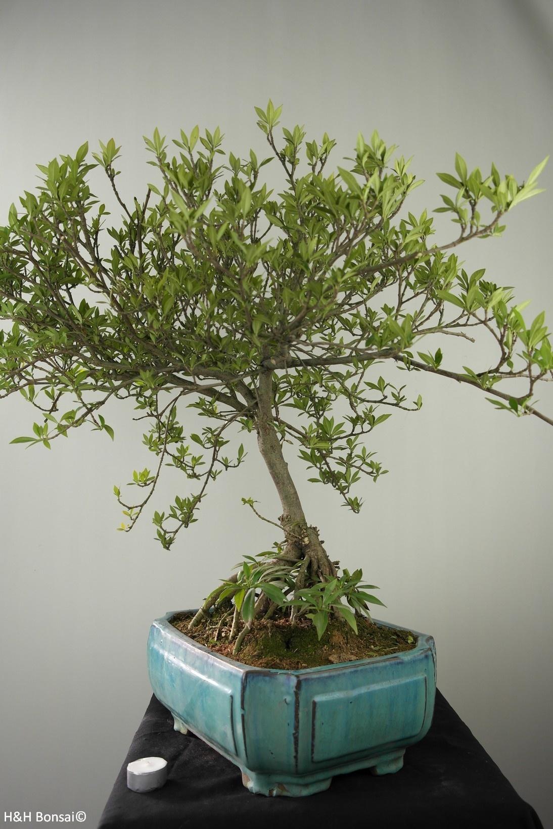 Bonsai Gardenia jasminoides, no. 7749