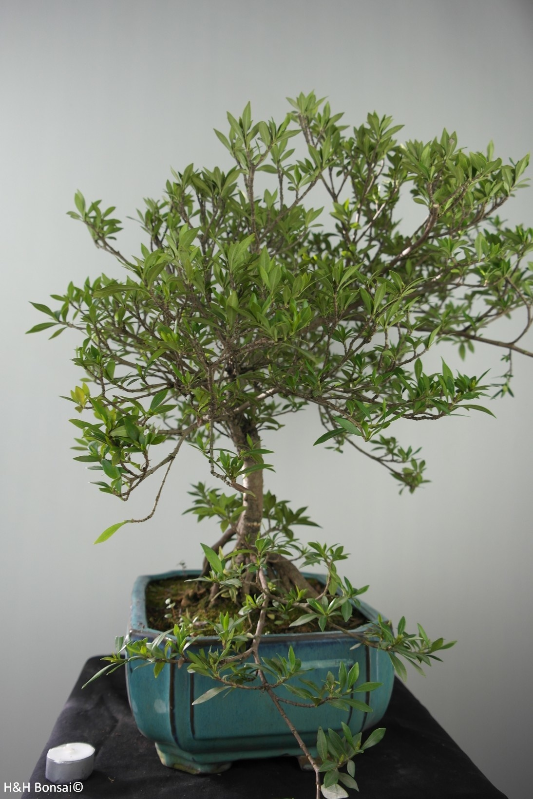 Bonsai Gardenia jasminoides, no. 7750