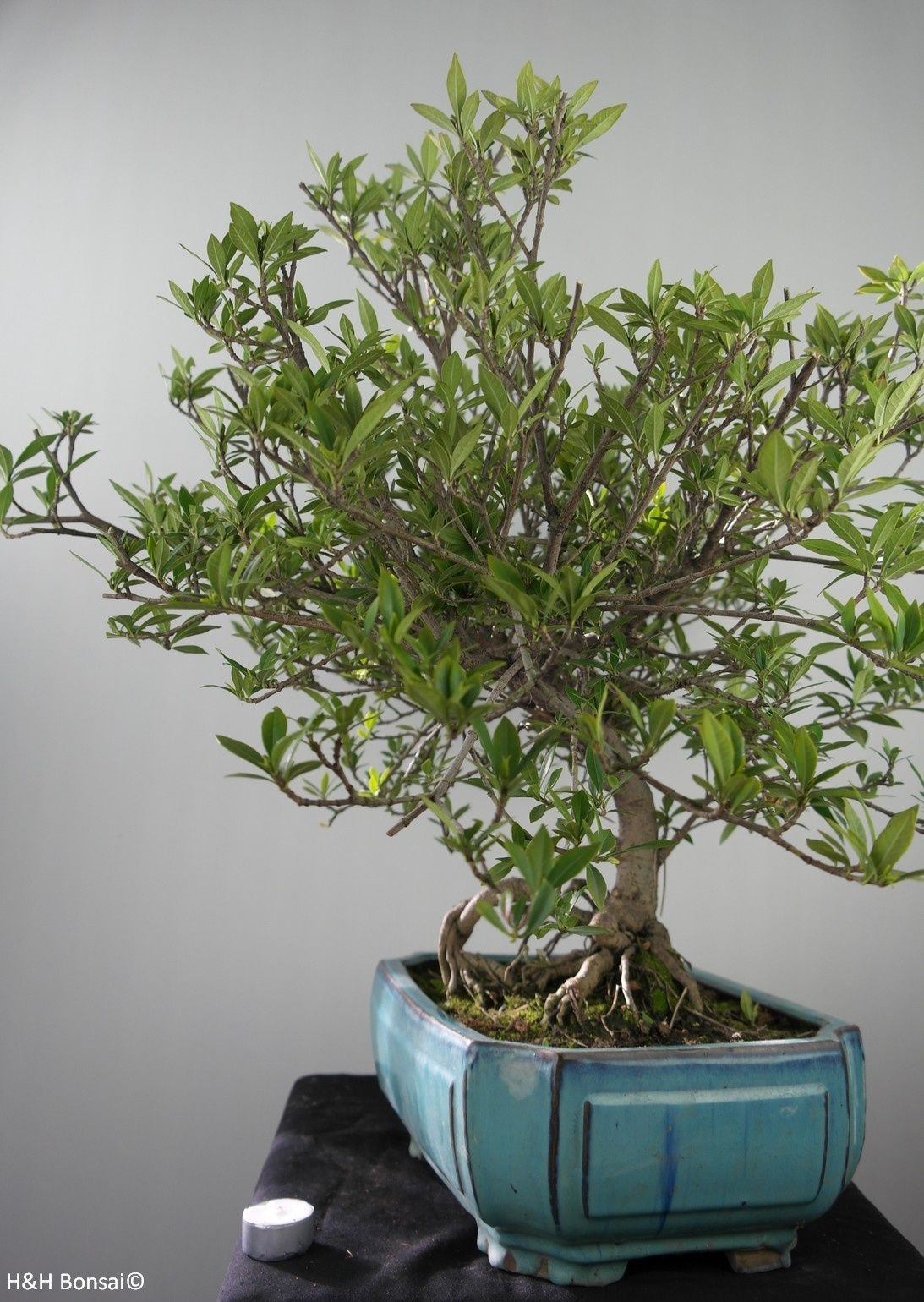 Bonsai Gardenia jasminoides, no. 7751
