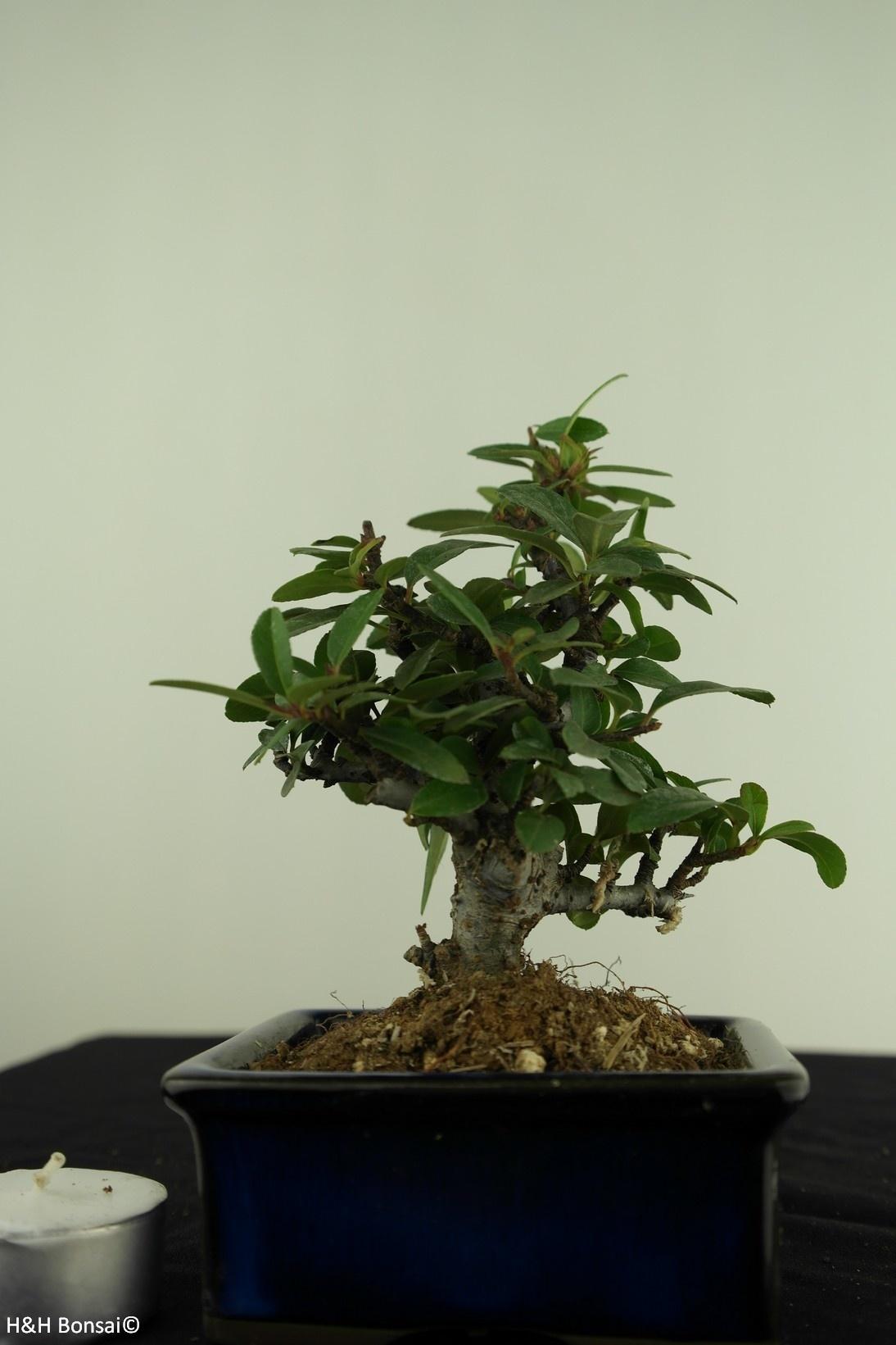 Bonsai Shohin Firethorn,Pyracantha, no. 7784