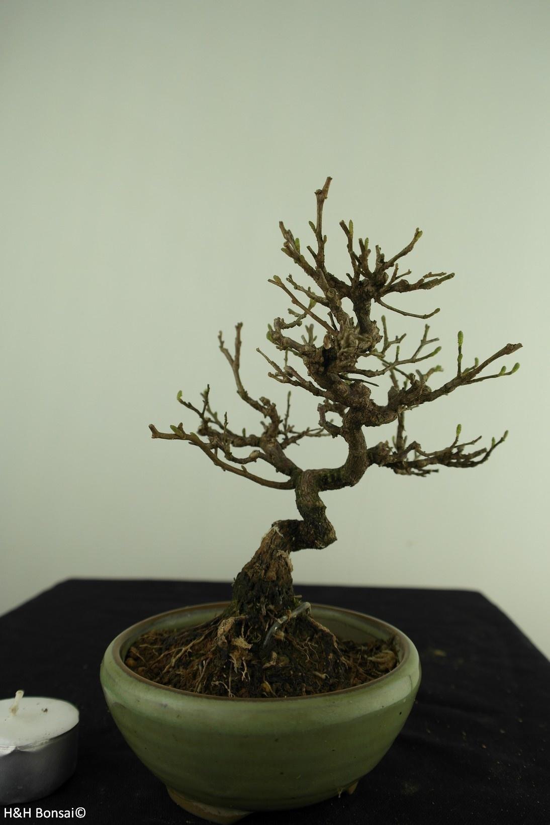 Bonsai Shohin Japanese snowbell, Styrax japonicus,no. 7790
