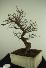 Bonsai Zelkova nire, no. 7794