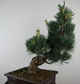 Bonsai Japanese White Pine, Pinus pentaphylla, no. 7813