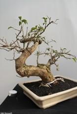 BonsaiBougainvillea glabra, no. 7815