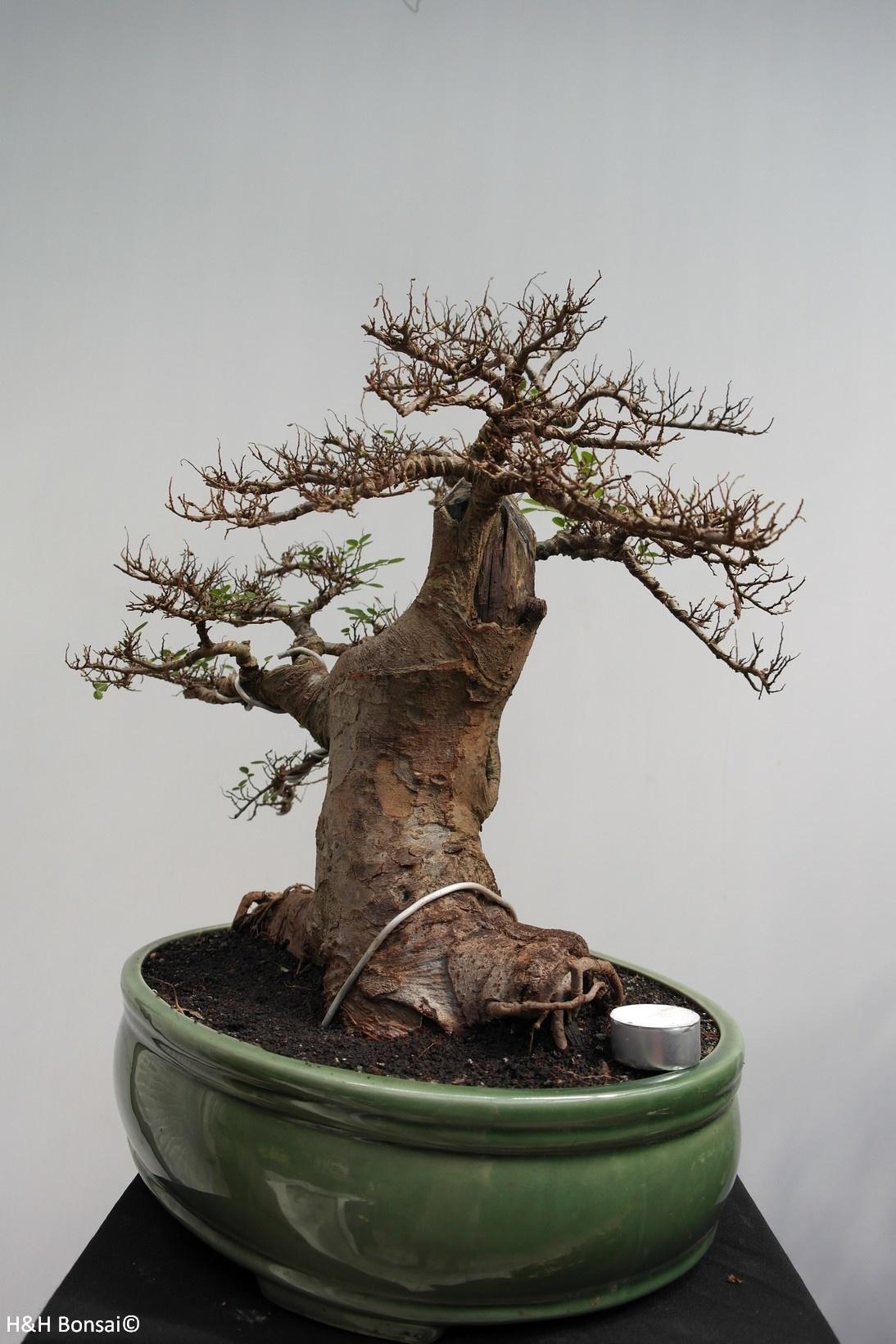 Bonsai Zelkova, no. 7855