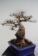 Bonsai Zelkova, no. 7856