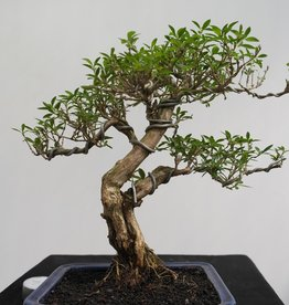 Bonsai Snow Rose, Serissa foetida, no. 7863