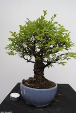 Bonsai Zelkova nire, no. 7791