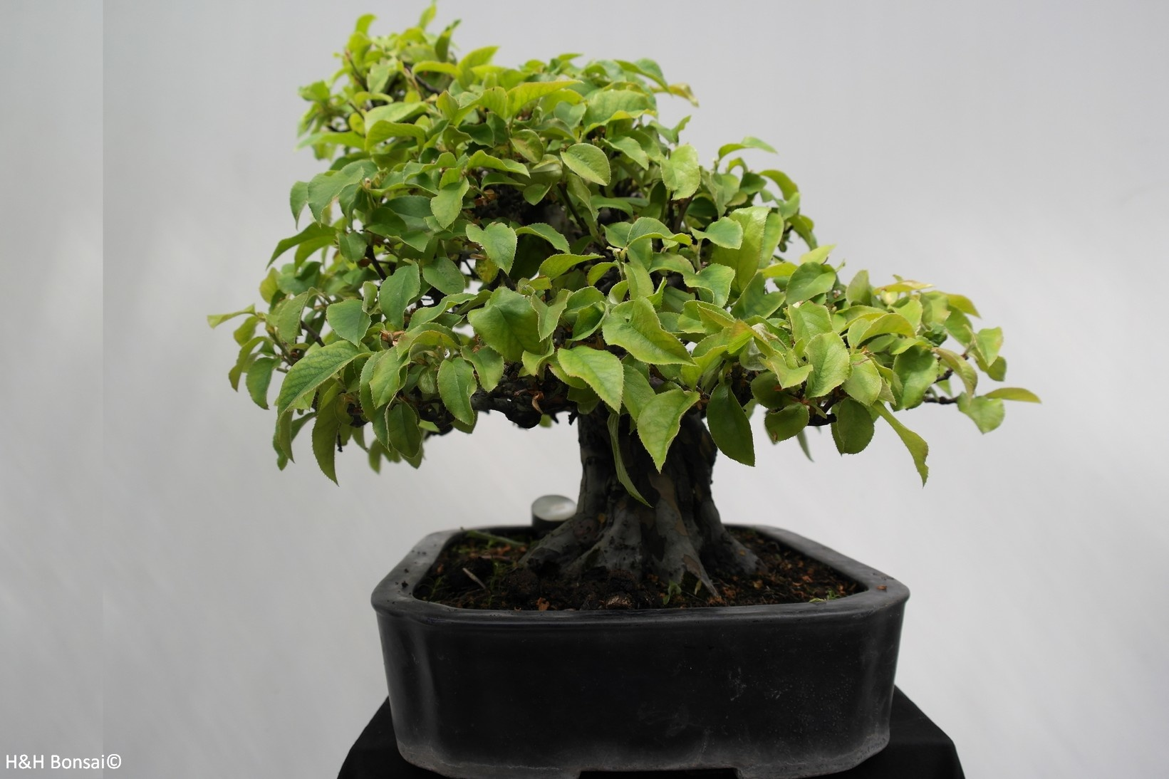 Bonsai Chinese Quince, Pseudocydonia sinensis, no. 7801