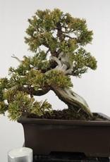 Bonsai Chinese Juniper, Juniperus chinensis itoigawa, no. 5126
