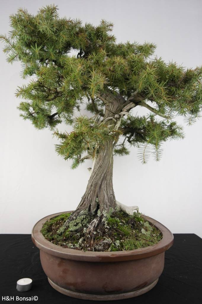Bonsai Needle Juniper, Juniperus rigida, no. 5142
