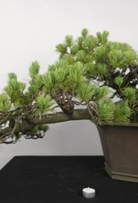 Bonsai White pine, Pinus penthaphylla, no. 5172