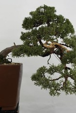Bonsai Chinese Juniper, Juniperus chinensis, no. 5540