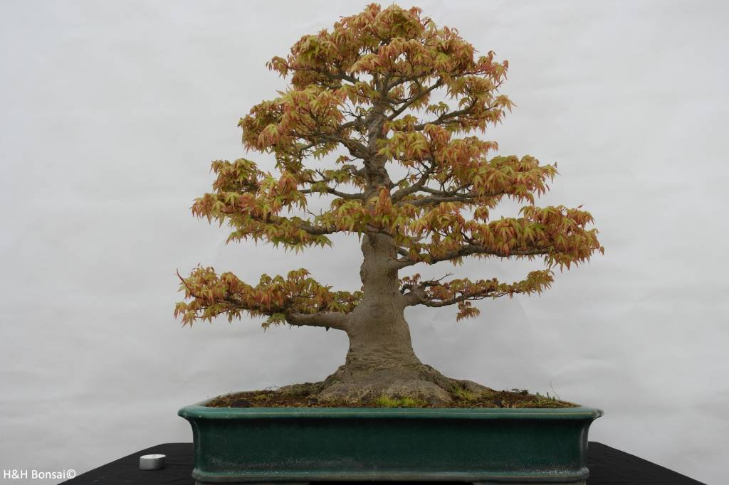 Bonsai Japanese Maple Acer Palmatum No 5499 Wwwhenhbonsaicouk
