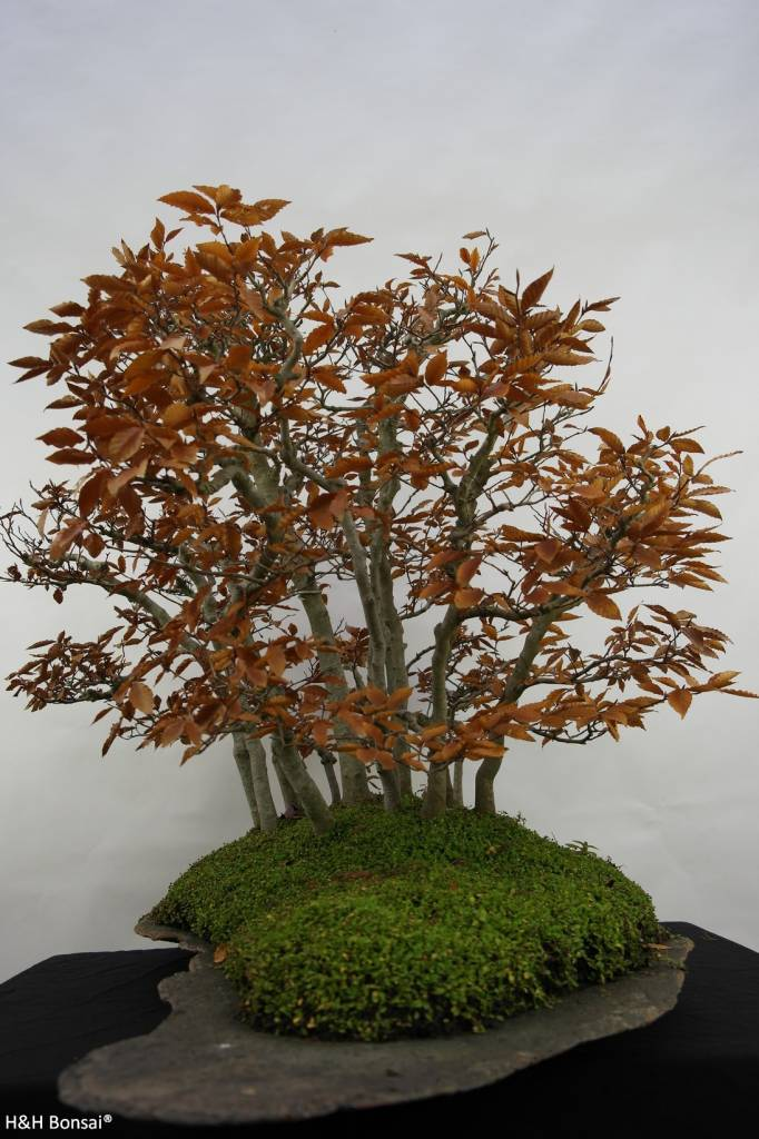 Bonsai Japanese beech, Fagus crenata, no. 5785