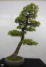 Bonsai White pine, Pinus penthaphylla, no. 5182