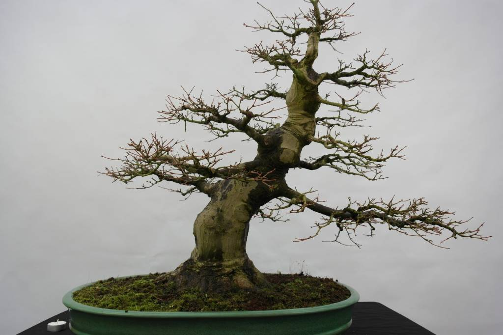 Bonsai Japanese Maple Acer Palmatum No 5508 Wwwhenhbonsaicouk