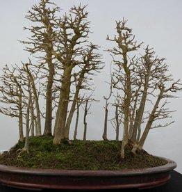 Bonsai Trident maple, Acer buergerianum, no. 5852