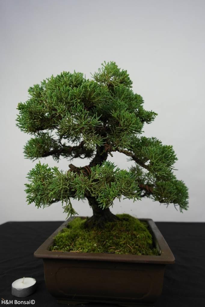 Bonsai Chinese Juniper, Juniperus chinensis, no. 5863