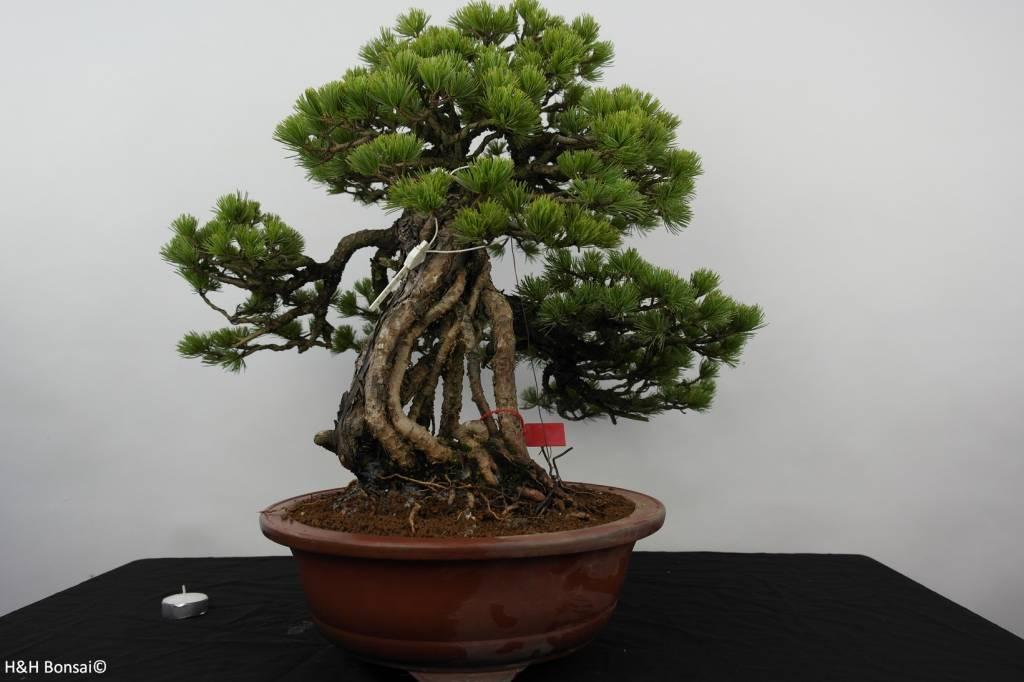 Bonsai Pino a cinque aghi, Pinus parviflora, no. 5894