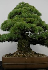 Bonsai Pino a cinque aghi, Pinus parviflora, no. 5895