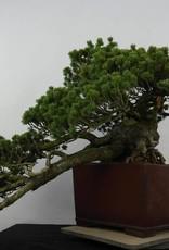 Bonsai Pino a cinque aghi zuisho, Pinus penthaphylla zuisho, no. 5896
