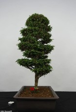 Bonsai Cipresso, Chamaecyparis sp. , no. 5897